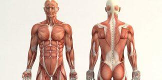 Cuerpo humano, anatomía