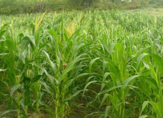 Siembra de maíz