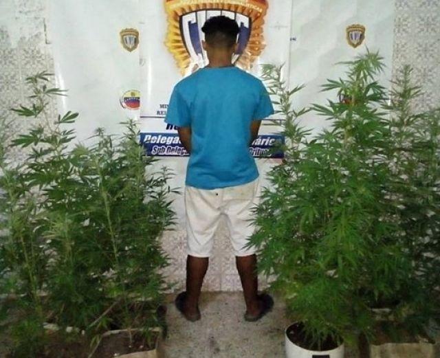 altagracia de orituco- plantas de marihuana- detenido cicpc